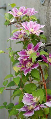 "Shade clematis ""Dr. Ruppel"""