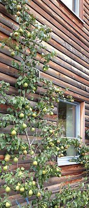Pear espalier tree on a wire rope trellis, before the harvest