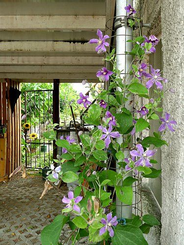 "Shrub clematis ""Arabella"" on a wall"