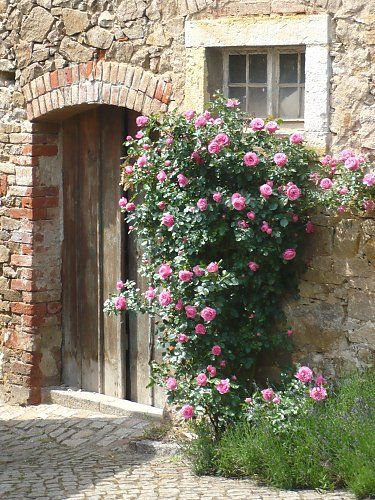 Small climbing rose on a wall