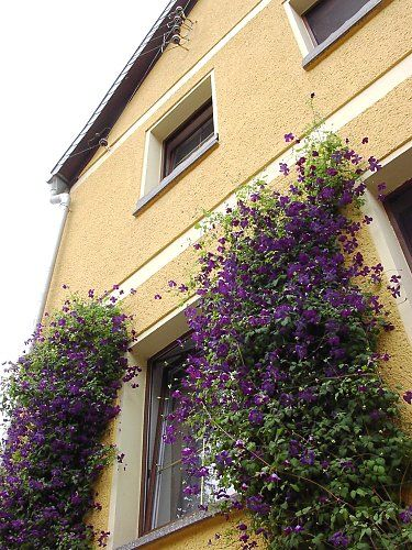 Clematis viticella - hybrids on a house