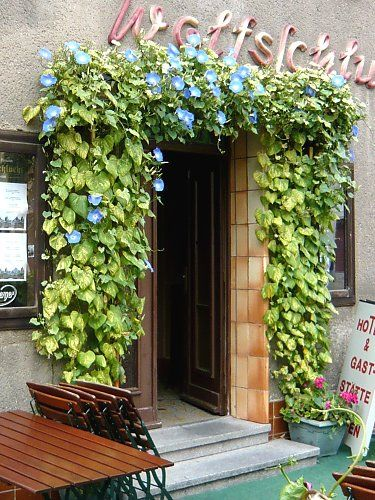 Annual twining vine on a restaurant entrance