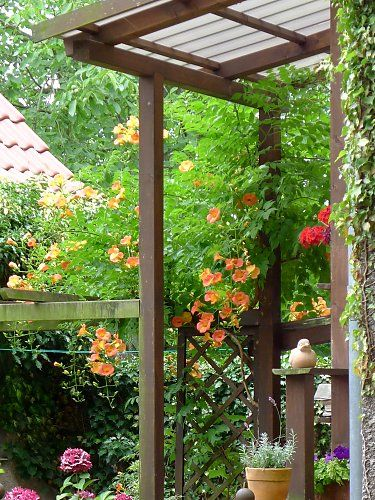 "Trumpet vine ""Grandiflora"" on a house entrance  in Leipzig / Saxony"