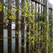 The same wooden fence as in previous photo; here greened with winter jasmine
