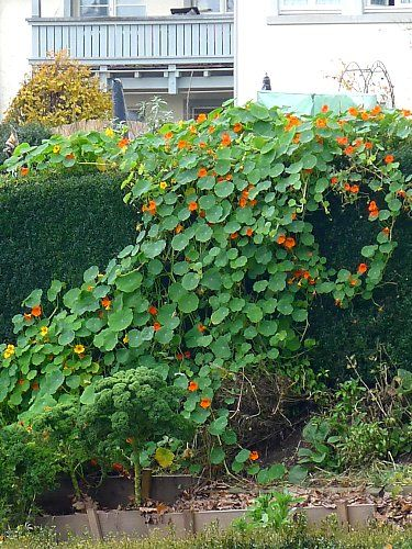 Tropaeolum on a hedge