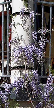wisteria-solitaire on a concrete column under a terrace, attached with velcro binder