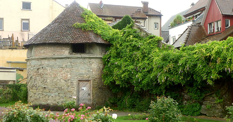 Needs regular attention/monitoring: wisteria in Radolfzell / Baden-Württemberg