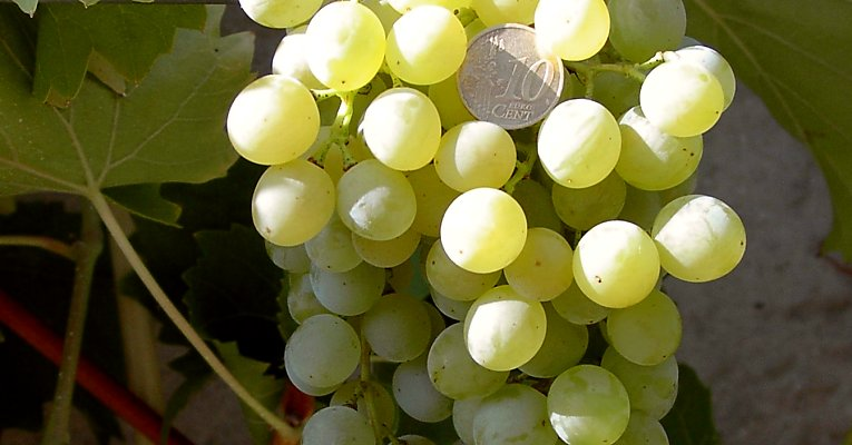 "Grapes of the ""Muscat Birstal"" - 10-cent coin for scale"