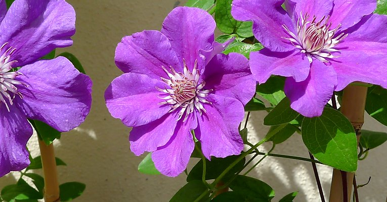"Hybrid clematis ""Ashva,"" second flowering in late summer"