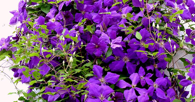 "Flowering clematis hybrid (the classic clematis ""Jackmannii"")"