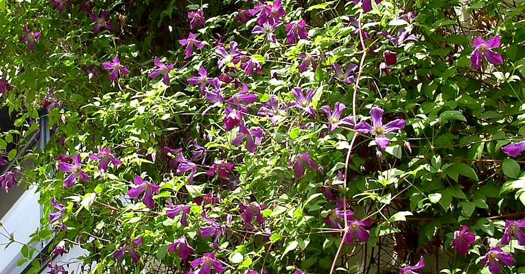 Wild form of clematis viticella