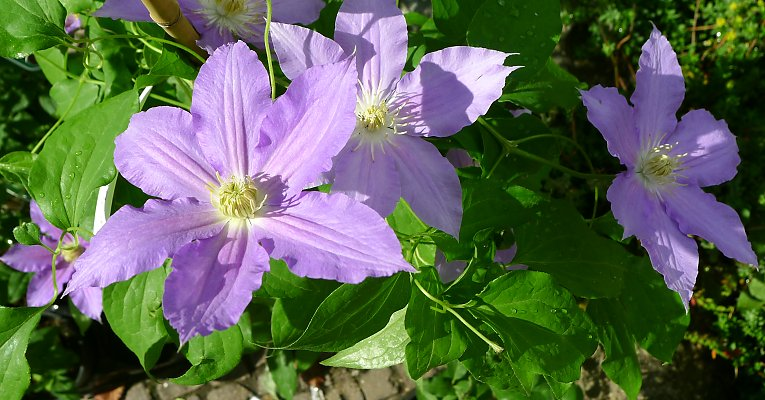 "New clematis variety -- ""Gräfin Cosel;"" here, the second flowering late in summer"