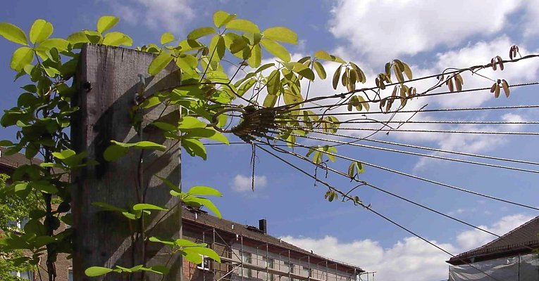 Roof of leaves with an akebia tied to steel ropes