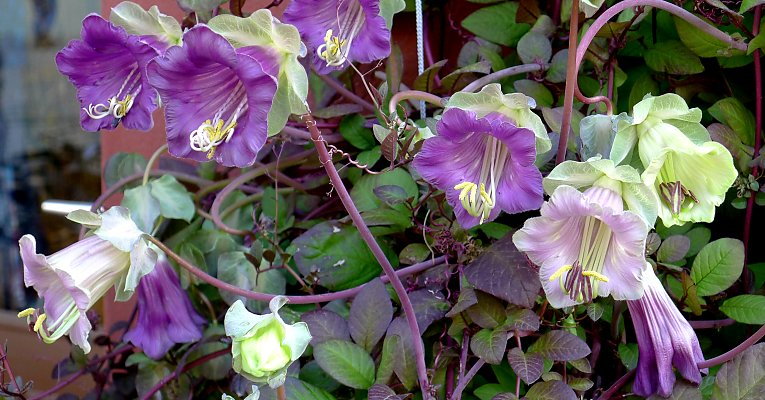 Cobaea scandens with flowers in various development phases