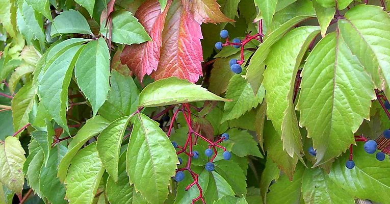 Thicket creeper in summer, slowly changing colours