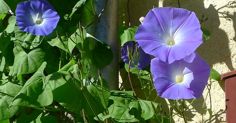 "Kaiserwinde ""Heavenly Blue"" (""Himmelblau"")"