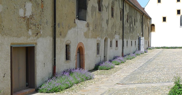 Lavender-tufts/bushes planted just in front of a wall, Klosterbuch / Saxony