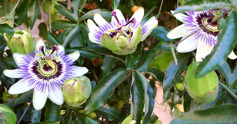 Blue passion flower: Passiflora caerulea