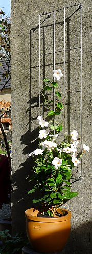 Metal trellis for mandevilla