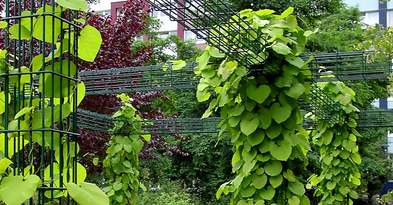 Metal grid as a growing aid for aristolochia