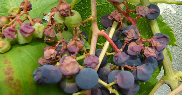 Sunburn on blue grapes