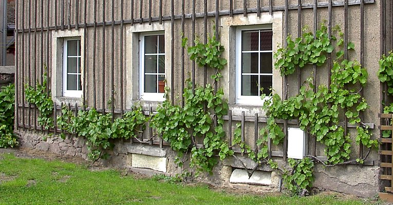 Historical espalier-wall for grapevine on a farm in Sörnewitz / Saxony