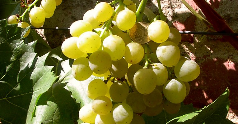"Table grape ""Palatina"" on a wall, 10 cent piece to scale"