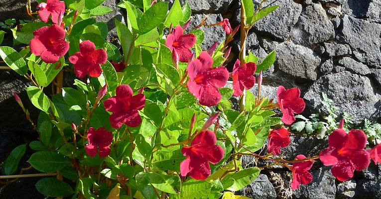 Mandevilla are ideal pot plants for outside