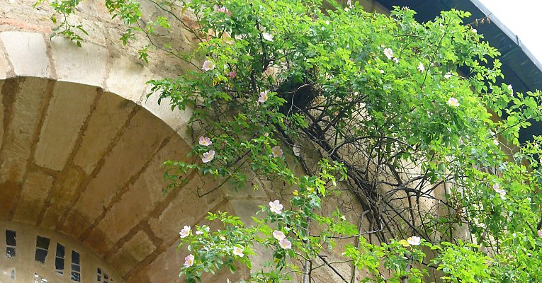 Bird's nest in a 1000 year old rose bush, Hildesheim cathedral / Saxony