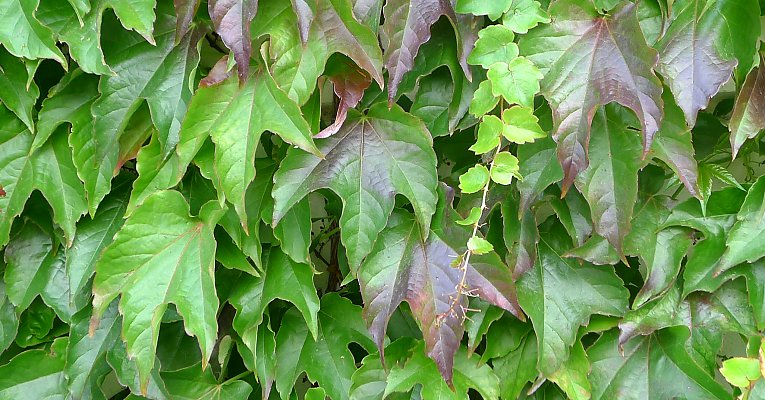 Boston Ivy slowly changing colour, new light shoots