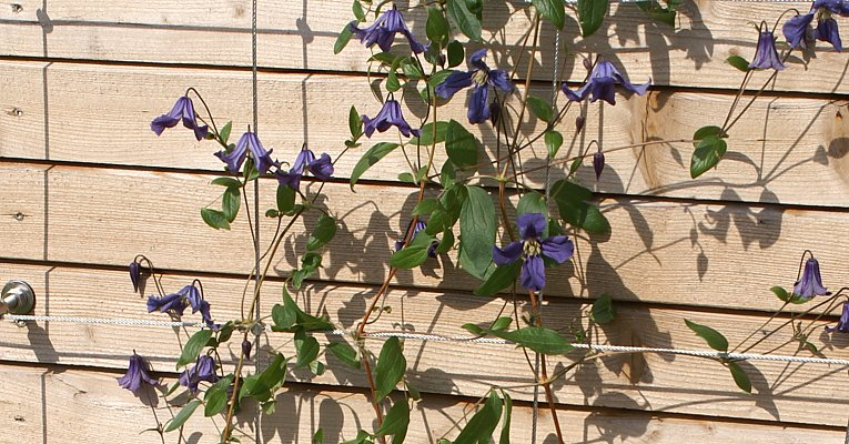 "Shrubby clematis ""Rooguchi"" on a wire rope trellis"