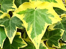 A yellow-edged ivy