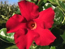 "Mandevilla ""Summerstar Red"""