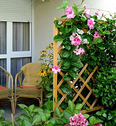 Privacy screen with a greened trellis, here Mandevilla Rubiniana