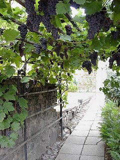 Arbour with grapevines