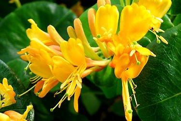 Tellmann's or Redgold honeysuckle