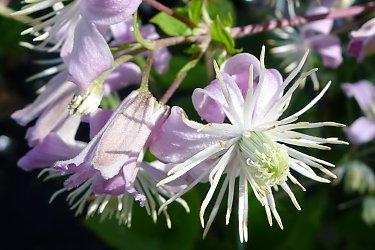 Perennial Clematis