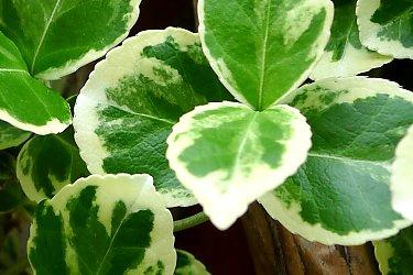 Wintercreeper white variegated