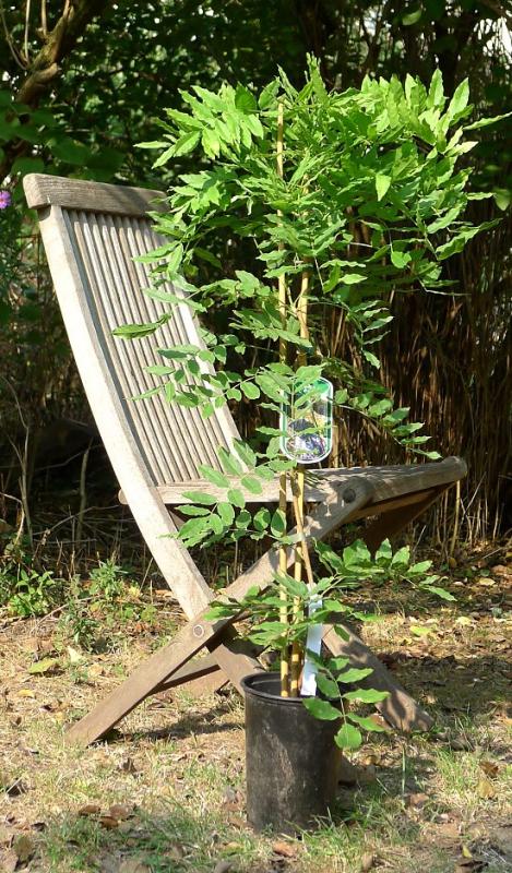 chinesischer blauregen wisteria f r 14 80. Black Bedroom Furniture Sets. Home Design Ideas