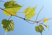 Bare rooted wild Grapes (fruitless rarity!)