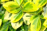 Wintercreeper yellow variegated