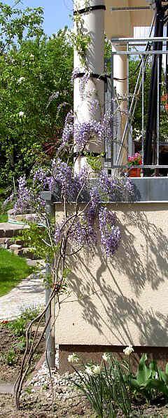 alternativ zu teuren rankhilfen k nnen vorgezogene solit re gepflanzt und an s ulen u mit. Black Bedroom Furniture Sets. Home Design Ideas