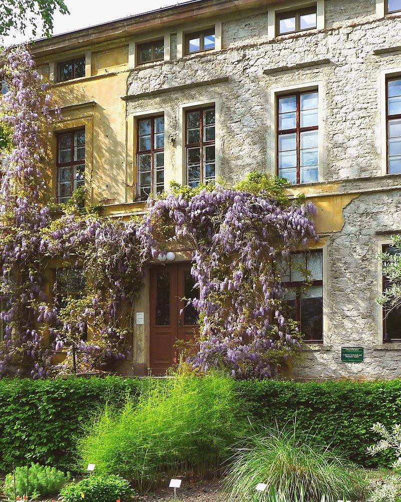 Alter Botanischer Garten Stadt Zürich: Blauregen Glyzinie Glycinie Wisteria 80-100 14,80 € Pflege