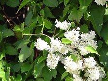 Sonstige fassadenpflanzen im sortiment der kletterpflanzen - Kletterpflanzen zimmer ...