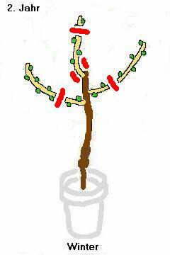 junger birnbaum schneiden