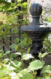 Rideau ou pare vue v g tal - Vigne vierge feuillage persistant ...