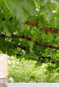 grapevines on pergolas arbours carports atilde156berspannung hof