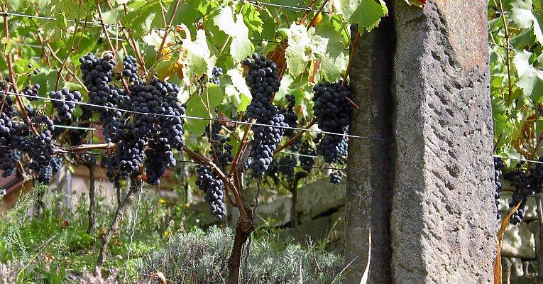 Drahtrahmen f r wein himbeeren brombeeren und spalierobst for Weintrauben im garten anbauen