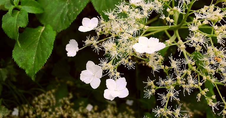 gro e kletterhortensie 80 120 17 80 27 80 hydrangea anomala petiolaris. Black Bedroom Furniture Sets. Home Design Ideas
