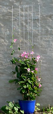 Grid with mandevilla on a wall